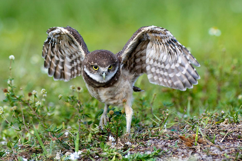I Got Wings! Burrowing Owl @ Brian Piccolo Park Cooper City, Florida © 2013