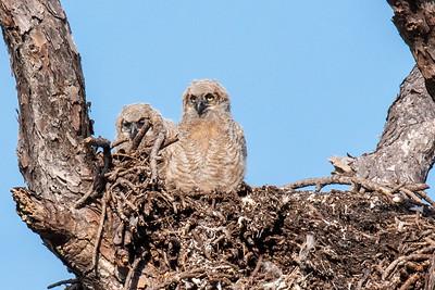 April 7, 2019 - Great Horned Owl Nest - 2
