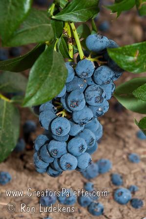 Blueray Blueberries (Vaccinium corymbosum x)