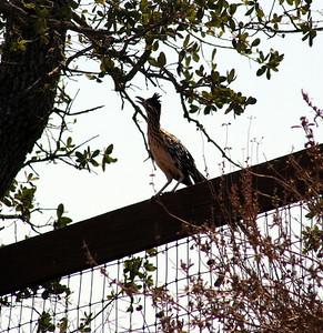 BIRDS: Cuckoos (Cuculidae)