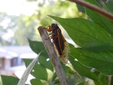 Cicadas - In Living Color - 7
