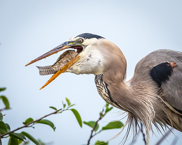 Herons Egrets Bitterns