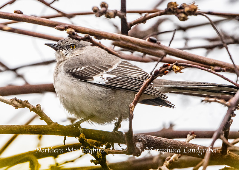 _DSC5165Northern Mockingbird.jpg