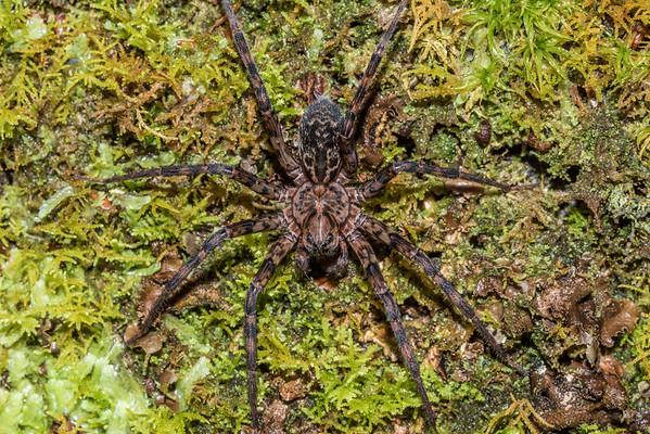 Scuttling spiders (Cycloctenidae)