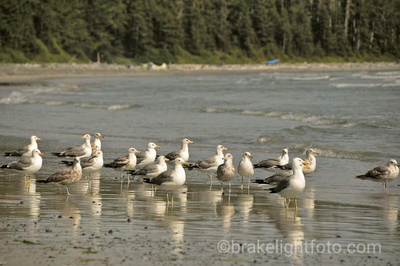 Gulls on Beach near Calvin Creek