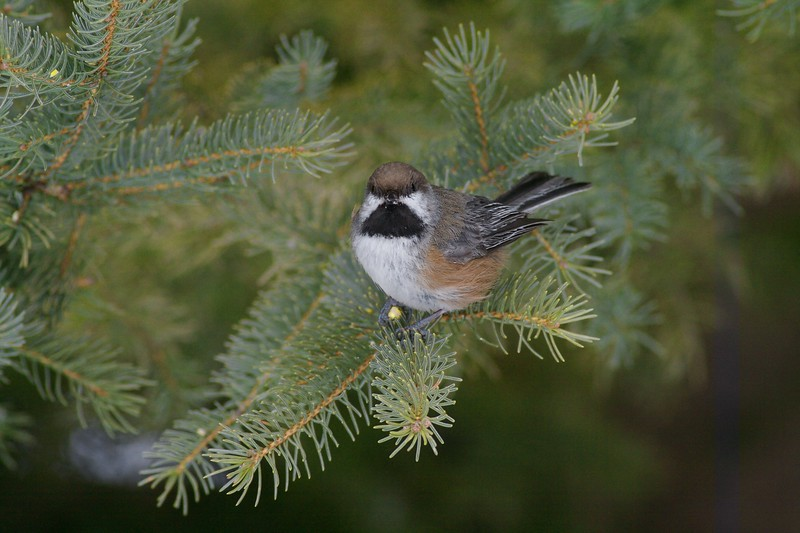 Boreal Chickadee eating some suet scrap [February; Sax-Zim Bog, Minnesota]