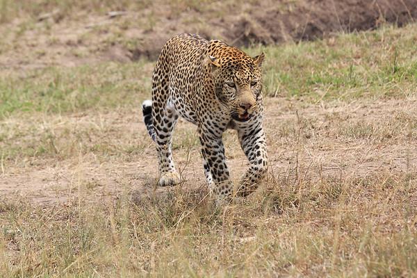 Leopard Topi House Mara Reserve Kenya 2014