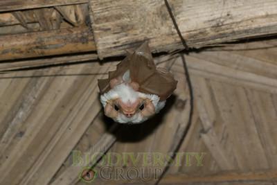 Bats (Chiroptera)