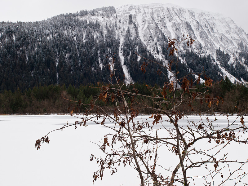 An Alder still holding onto its leaves in February, in the Dredge Lake area, Thunder Mountain in the back.