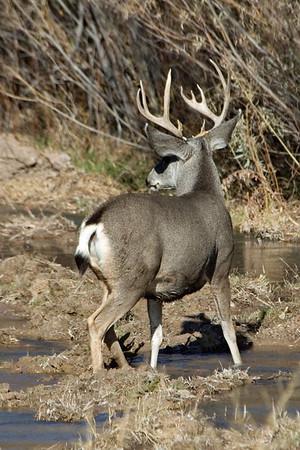 Mule Deer - buck - Bosque del Apache NWR - NM