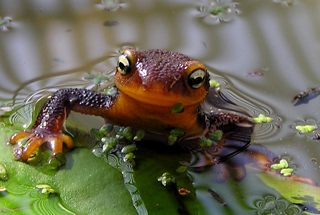 . Newts are fascinating animals. Researchers joke that their skin contains enough toxin to kill 25,000 mice and two male college students. But they\'re cute. (Photo by Lauri Twitchell)