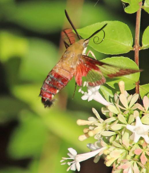 Hummingbird moth 313