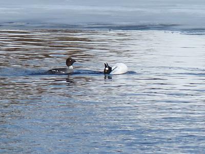 20140311 Otonabee Waterfowl