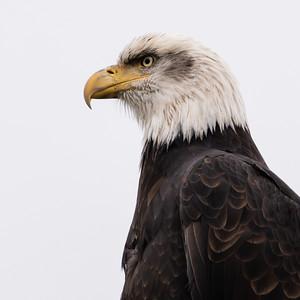 Bald Eagles Chilkat River November 2019 Working Images
