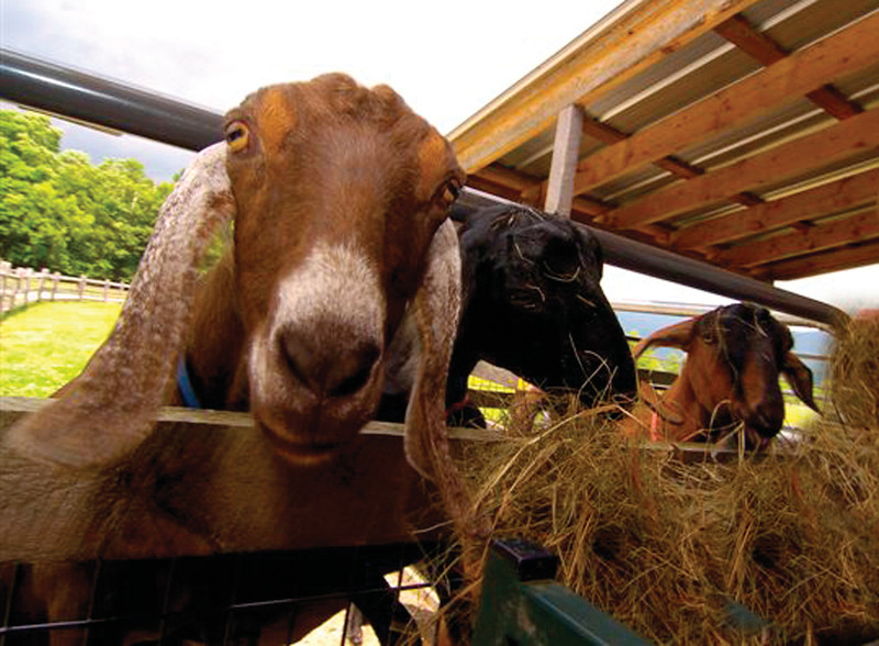 upclose image of goats eating straw