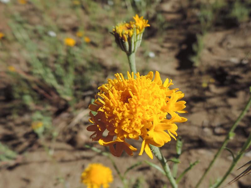 Yellow Pincushion (Chaenactis glabriuscula) ASTERACEAE