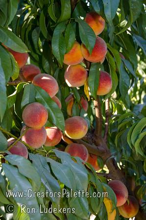 Peachy Keen® Peach - Prunus persica sp.