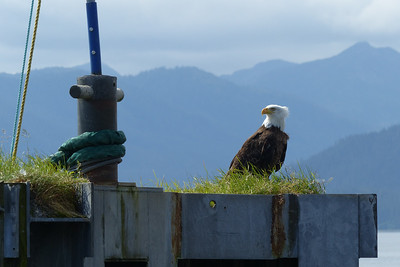 Bald Eagle on the Ferry Dolphin August 2015, Cynthia Meyer, Tenakee Springs, Alaska P1080618