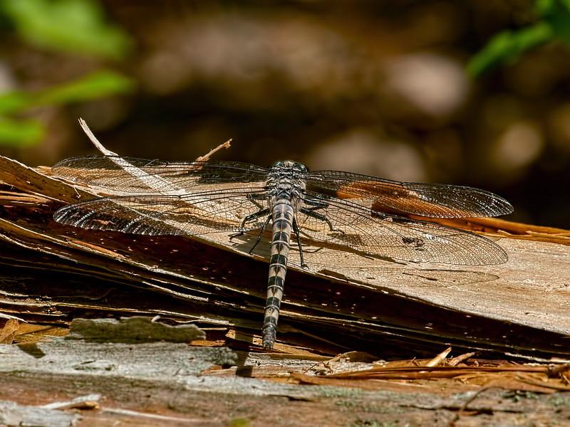 Female, Pocahontas State Park,  Chestefield County, VA