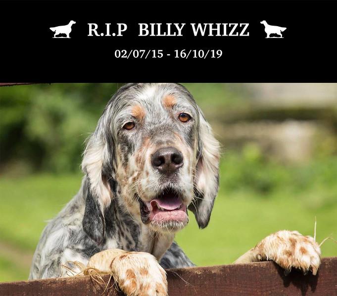 Billy Whizz Redhara Setters.jpg