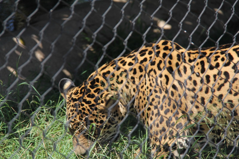 20170807-087 - San Diego Zoo - Leopard.JPG