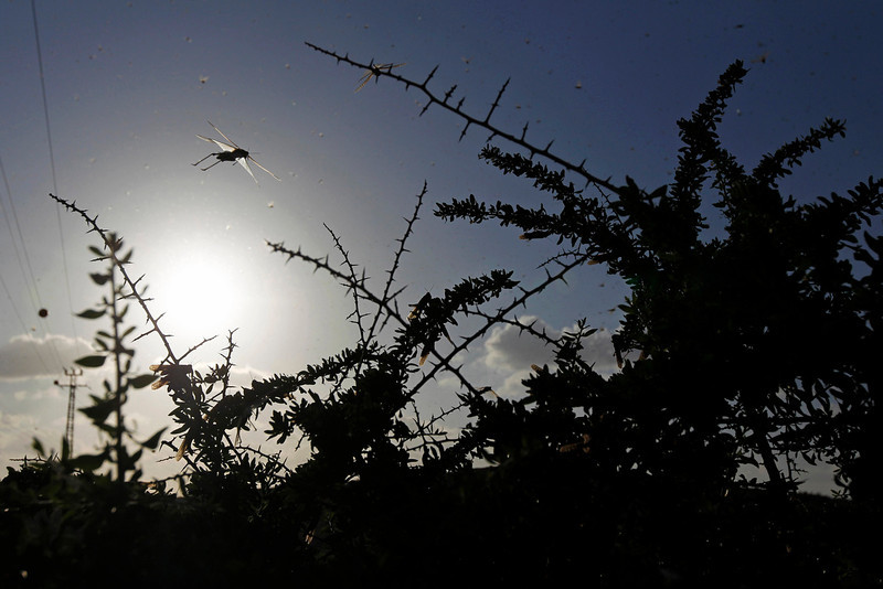 . A swarm of locusts fly near Kmehin in Israel\'s Negev Desert March 5, 2013. The Israeli Ministry of Agriculture and Rural Development said on Tuesday that the location of the locusts which crossed into Israel from neighbouring Egypt had been mapped and and will be fumigated tomorrow. REUTERS/Amir Cohen
