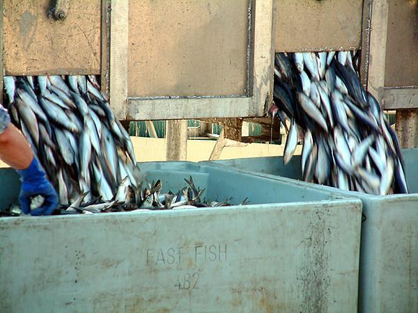Cobh - Unloading fish at the harbor 2