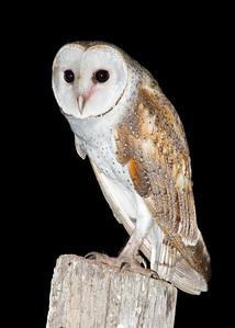 Eastern Barn Owl (Tyto delicatula)