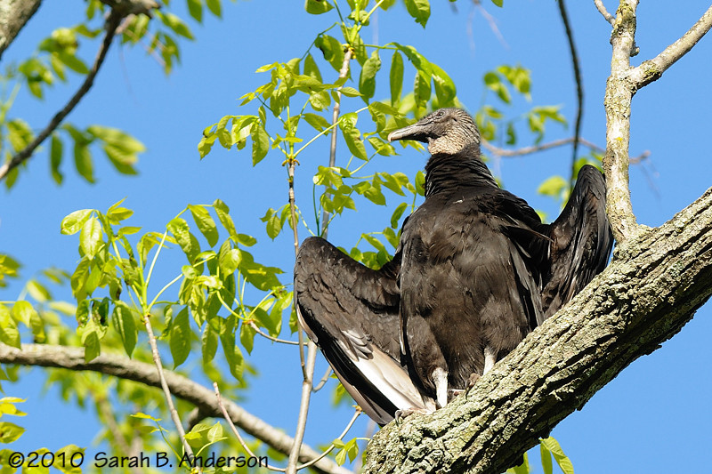 Black vulture, drying? warming?  Great Falls National Park Fairfax County, Virginia April 2010
