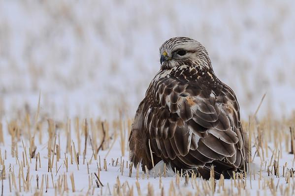 4 2013 Apr 16 Rough-legged hawk In a Cold Field