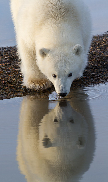 Alaska Polar Bear Photo Workshop-12.jpg