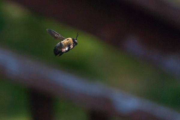 2012-04-21 Carpenter Bees
