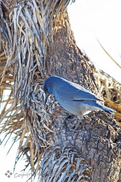 Pinyon Jay on Joshua Tree