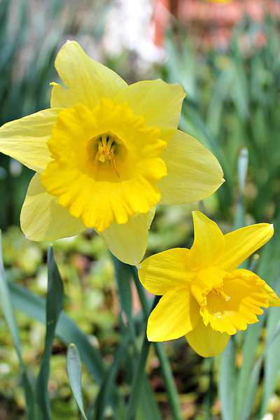 """Last of my Daffodils"" - Daily Photo - 05/17/13  Love these flowers, wish they lasted longer!"