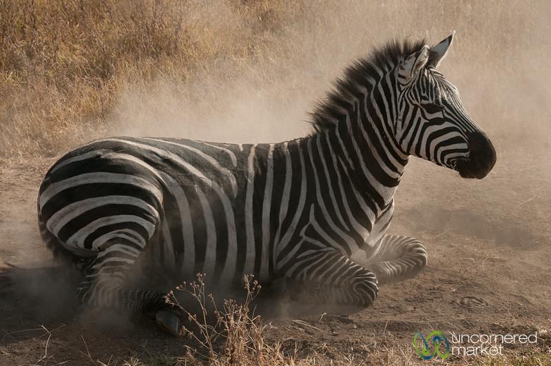 Zebra Finishing Dirt Bath - Ngorongoro Crater, Tanzania