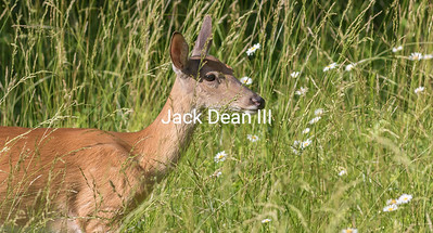 White-tailed Deer With Daisies