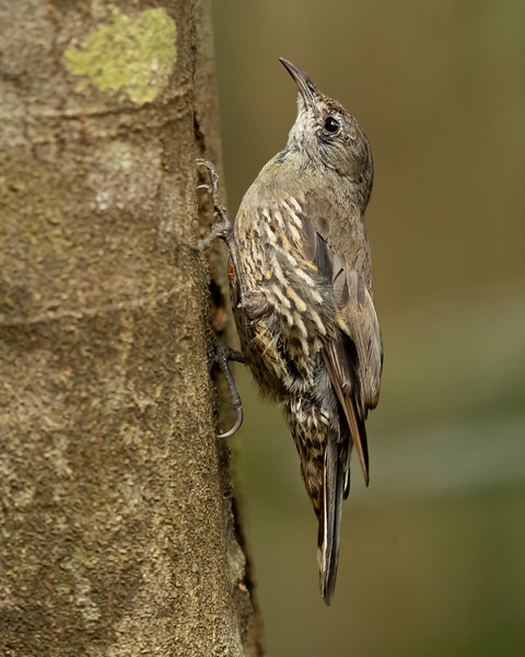 White-throated Treecreeper (Little)