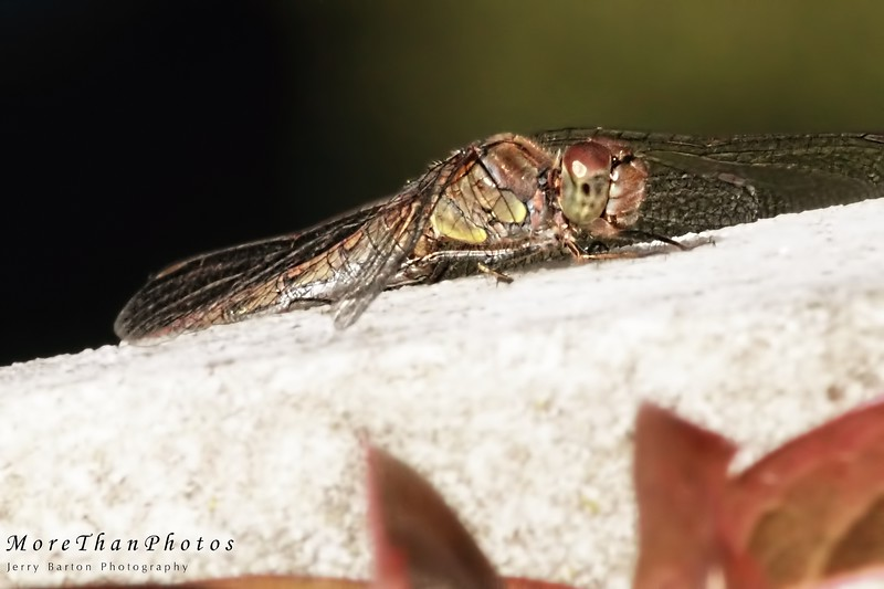 Tired Dragonfly