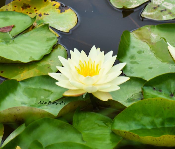 White Water Flower2.jpg