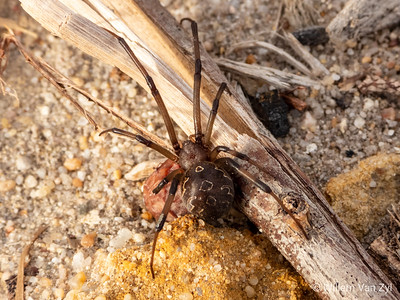 Brown Button Spider (Latrodectus geometricus)
