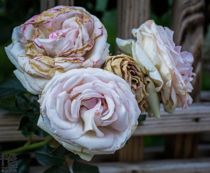 Elder roses on fence