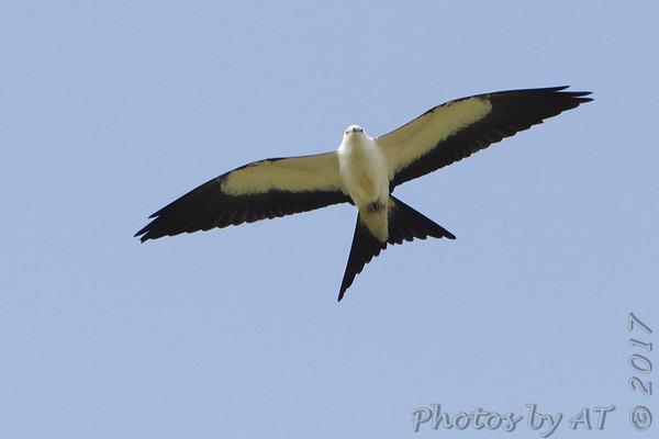 Birding 2017 August