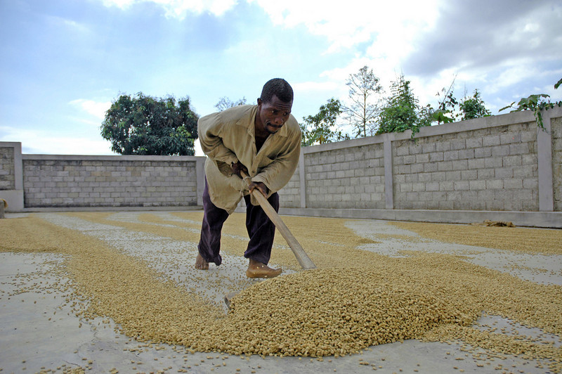 Beans are dried before being weighed and sorted at the coffee cooperative in Thiotte, Haiti. Today, the ELCA-supported project has an established $1 million annual operation.