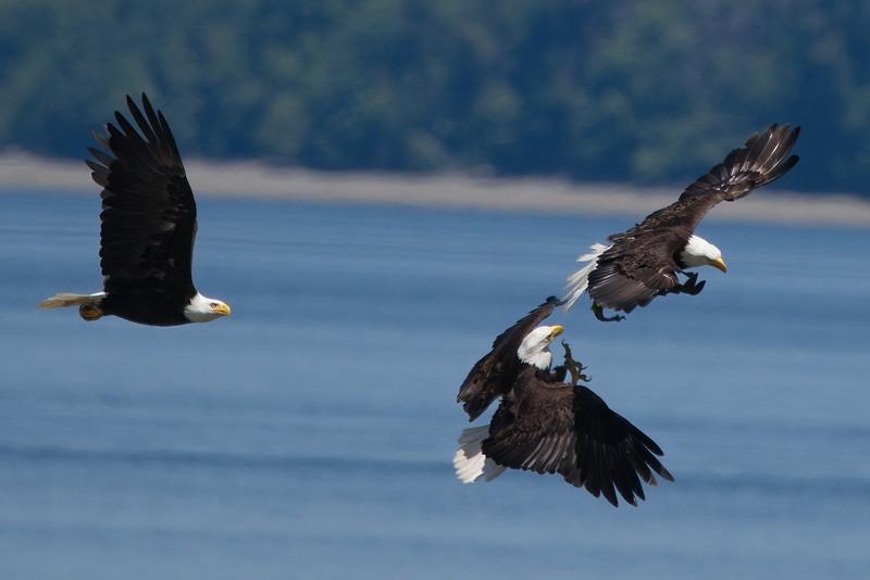 Bald Eagle, Big Beef Creek, Hood Canal, Seabeck, Washington