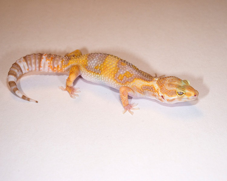 LG4215, $35, Tremper Albino, TSF, 31 grams