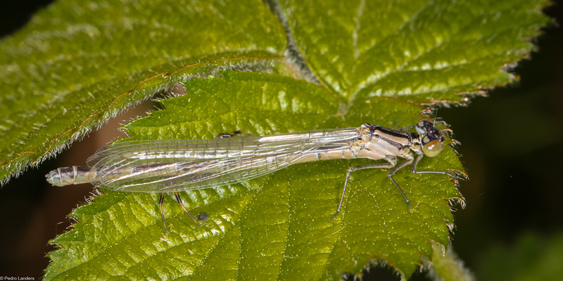 Large Red Damselfly - Imm