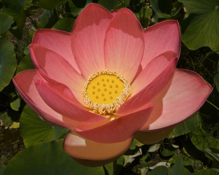 20080103_1250 Lotus