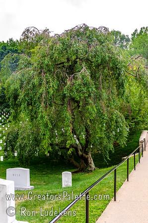 Subhirtella Double Weeping Flowering Cherry - Prunus subhirtella 'Pendula Plena Rosea'