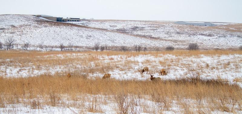 Elk cow Neal Smith National Wildlife Refuge NWR Prairie City IA  IMG_1867.jpg
