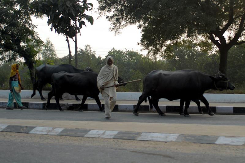 Ox walk 2.jpg